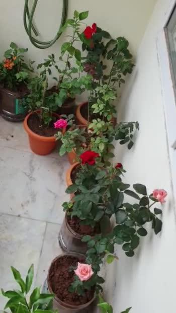 Plants Love 😍 #roposo #roposoplants #my3_plants #hyderabad #plants #pleasent #flowers #roposo #hibiscusflower