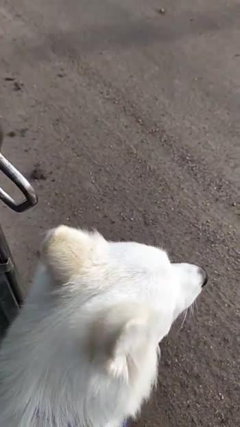 #petsagram #instagramdogs #dogs_of_instagram #petstagram #doglover #animals #animal #pet #ilovemydog #pets #adorable #puppy #dogsitting  #lovepuppies #dogoftheday #instagood #dogstagram #instapuppy #nice #pup #dog #photooftheday #lovedogs #cute #instadog #Cookie_queen_rajkot