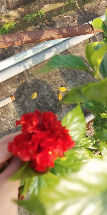 #dailypost #flowermagic #hibiscusflower  My set of hibiscus