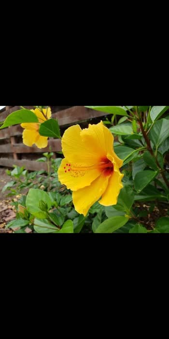 #TaiyaarHainHum#hibiscusflower #love-status-roposo-beats