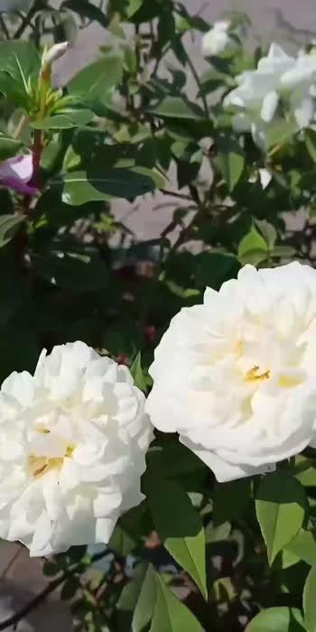 rose blossom.....