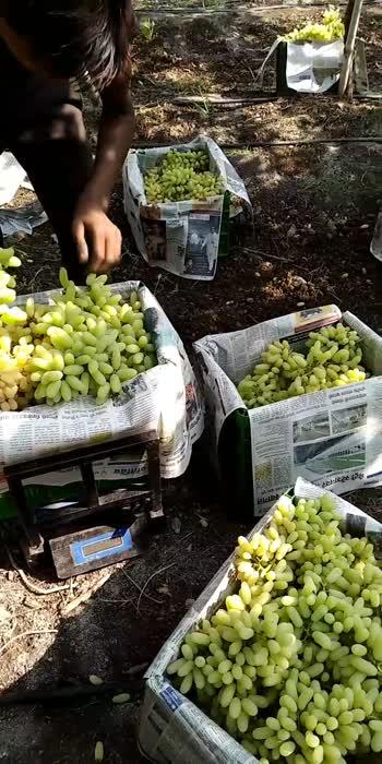 grape harvesting.
