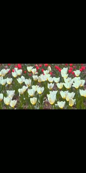 srinagar tulips garden