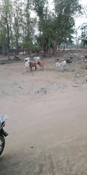 #roposostars #cows
