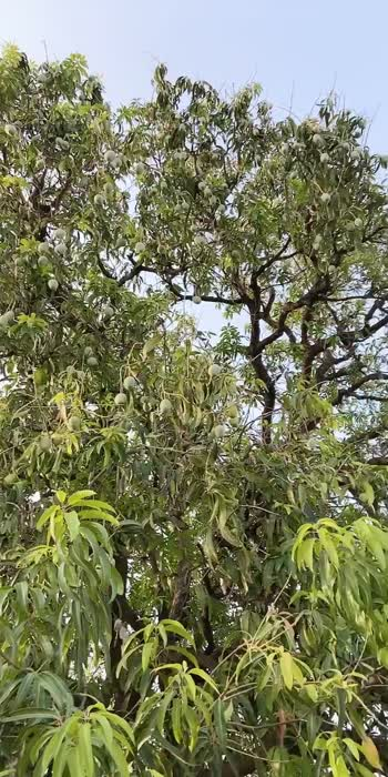 #mangolover