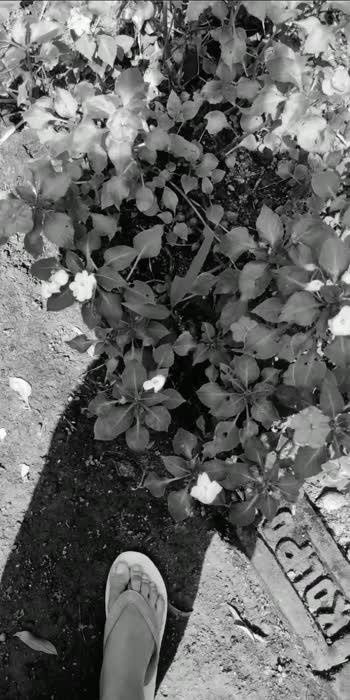 #Common name#Impatiens#Botanical name#Impatiens walleriana