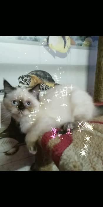#mykittensite #cute #cat #shorthair #pet #petlover #pet