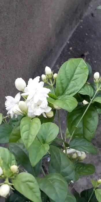 #floralprint #flowersofinstagram #naturelover #plantlovers   MY GARDENIA PLANT