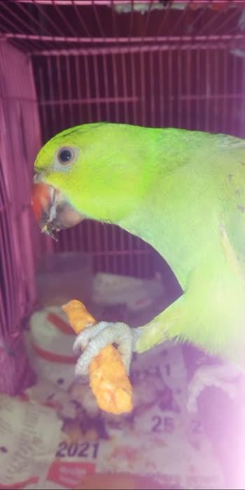 #ropisoindia #roposostar #parrotlovers #lovelessboutique