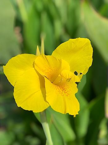 Beautiful flower 🌷 #flowers #flowerslovers #roposo-lover #yellow #flowerstagram #beauty #ropo-beauty