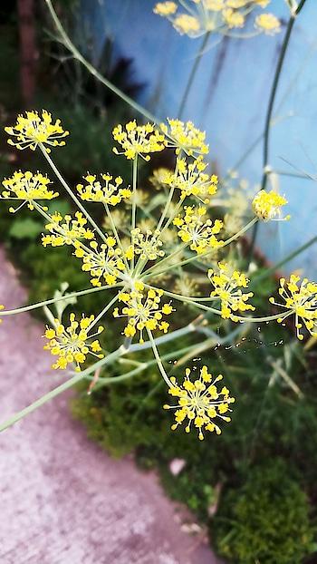 #morningpost #roposoclick#iphone#captured#flowers#yellow#lookingbeautiful#like#follow#sendmegifts😘