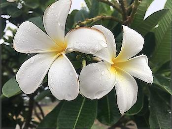 #beautiful#white#flower🌼#rain🌧#iphone6s📱#photoshoot📸