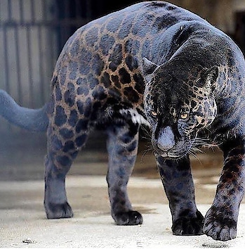 Block Leopard