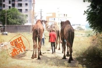 Dromedary camel #walkaround#harsh#sun#captured #shaamkascene