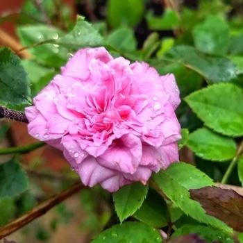 #flowers #rose #roposotalenthunt #moto #motog5plus