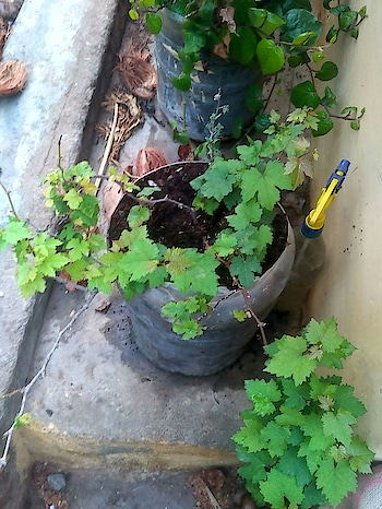 grapes growth