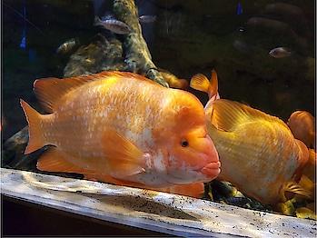 #fish #aquarium   #fishtank #swim #swimming #water #coral #fishporn #instafish #instagood #reef #reeftank #tropical #tropicalfish #aquaria #photooftheday #saltwater #freshwater #beautiful #ocean #watertank #colorsfish