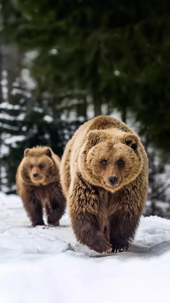 #bear #bearsmile #hairy #brown#strong #strength #animal #wild #wildlife #wildlifephotography #safari #wildlifesafari