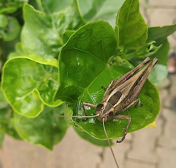 #grass #grasshopper #nature #candid #insect #insects #beauty #camera #snap #clear #awesome #love #amaing #indian #bangalore #bengaluru #rain #animal #photographyeveryday #photo #pic-click #click #cool