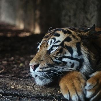 #tiger #tigerstyle #nature #naturelover #wildlife #wildernessculture #wildness #wilderness #wildanimals
