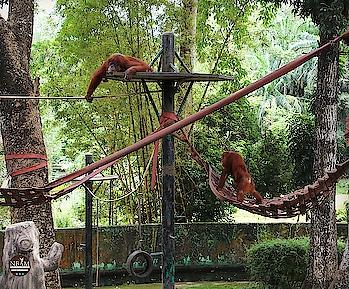 🎶 Just Chill, Chill.....Just Chill 🎶😉😜 My #currentmood  😂 Happy #sunday  peeps 💕 #naturalbeautyandmakeup  #travelphotography   . . #picoftheday 📷  Zoo Negara, #malaysia  #nbamtravels  . কারা কারা Weekend এ এমন ভাবে আরাম করতে পছন্দ করেন, প্লিজ হাত তুলুন  🙋♀️🙋♂️😀  . . . . . . . . . .  . #chillvibes #relaxmood  #bengaliblogger #weekendmood  #orangutan  #animals  #wildlife  #wildlifeconservation #wildlifephotography  #wildanimals   #travelblog  #zoonegara #kualalumpur  #primates #hongkongblogger #roposodaily  #travelawesome #naturephotography  #travel-diaries