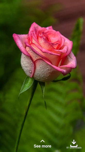 rose is the beauty of the world #rose #captured #capture #capturingmomentzofficial #tvbythepeople #pic-click #picoftheday #trendylook #roselove #love #ropo-love #ropo-good #roposocontent #like4like #todaysclick #morningpost #morningvibes