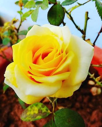 #rosegold #rops-star #flowerslovers