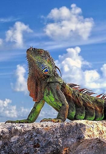 #chameleon photo
