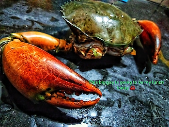This big guy is going to be my lunch today, thank you crab 🦀 for being my food 🙏 . . . . . . . . . . . . . . . . #food #foodporn #yum #instafood #yummy #amazing #instagood #photooftheday #sweet #dinner #lunch #breakfast #fresh #tasty #foodie #delish #delicious #eating #foodpic #foodpics #eat #hungry #foodgasm #hot #foods #bikashbiswaz #crab #lockdown2020 #stayhome #staysafe