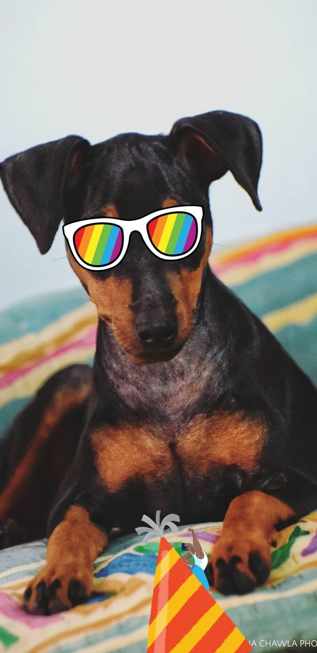 Mr Polo 🐶 #dog #small #little #polo #cute #wednesday #portrait #doglife #dogstyle #🐶 #minpin #love #fun #Nikon #dogs #dogsofinstagram #doğum #toybread #innocent #👋RC