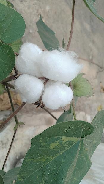 cotton... #cotton #nature