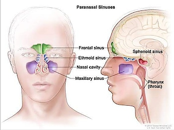 Q2809. The nurse prepares to palpate a clients maxillary sinues. For this procedure, where should the nurse place the hands? A. On the bridge of the nose B. below the eyebrows C. below the cheekbones D. over the temporal area