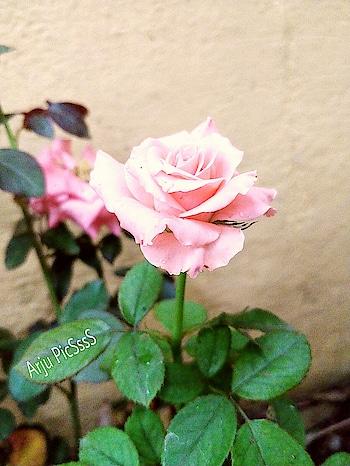 #roposo #ropo-love #ropo-good #ropomood #roposomood #flowerstagram #floweroftheday  #nature #love #gift #enjoy-human  #roposoness #natural #photography #photogram #instagram #instapic #luv-roposo #roposopic #pink #goodvibes #asiablogger #-india #flowermagic #theme wedding #greenary