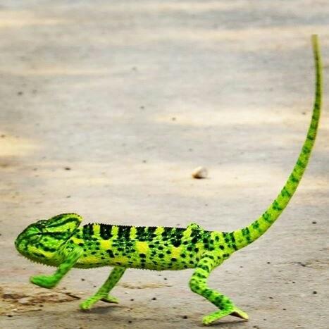 #green #colour #chameleon #wildlifephotography #gone_wild #click #love #wild #animals