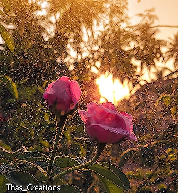 Bokeh Bliss #Sun kissed roses