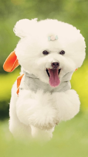 This is a super cute bear dog. it looks like a cotton taddy 😍