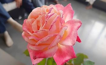 माझी फोटोग्राफी #rose #roseday #red-rose #flowers #photography
