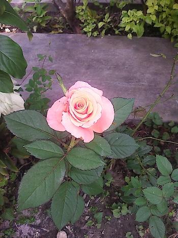 My inlaws garden flower.