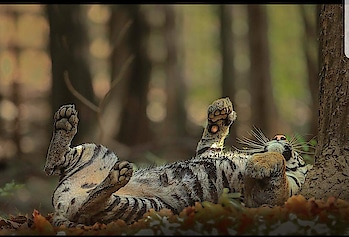 #wildcats #tigers #wildlifephotography #natgeoyourshot #captured