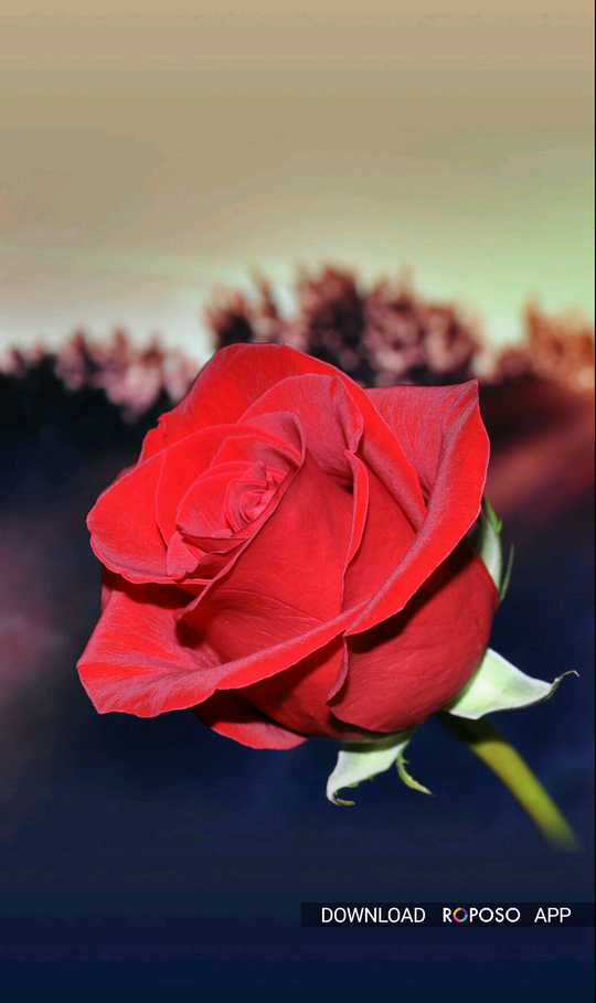 Good morning Yaaro dosto Subah subah Apke liye Red Rose 🌹