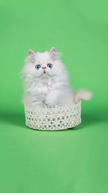 #cat #grumpy #kitty #white #fluffy