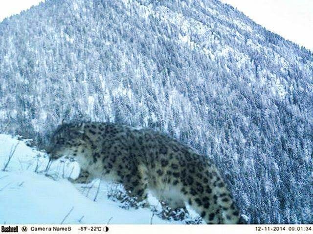 """Last month, a very handsome visitor walked past one of our """"Snow Leopard Fund"""" cameras in a protected reserve in Kazakhstan.  Currently, there are only 4,000-6,590 Snow Leopards worldwide. We work with partners to conserve the forest homes of this endangered species while working w/ communities nearby to create jobs, focusing on conservation & protection.  © GEF Small Grants Programme/ World Wildlife Fund/ Conservation International/ Wildlife Conservation Society/ GEF SGP in Kazakhstan/ Undp Kazakhstan"""