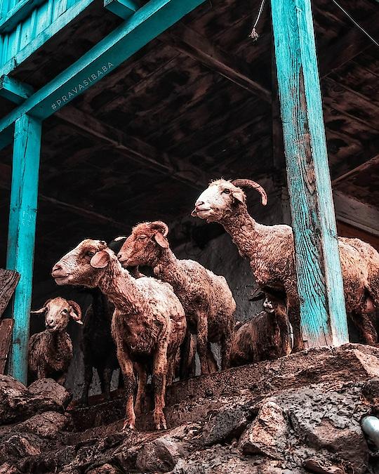 #sheeps  #animal #tosh #himachalpradesh #himalayas