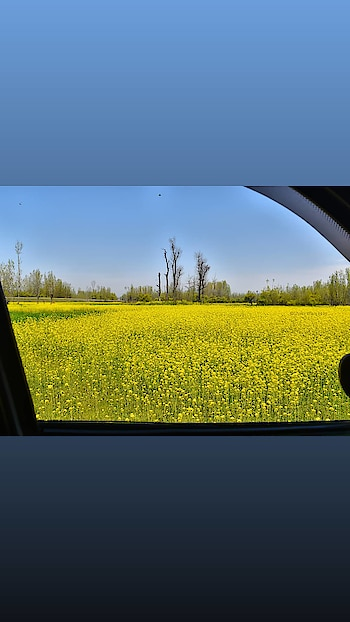 Fields Covered with Mustard Flowers in Anantnag district of Southern Kashmir #spring #springbloom #kashmir #shakirwani #imshakirwani #qazigund #anantnag #mirbazar #natgeo #kashmirinpictures #kashmirinmylens #frames