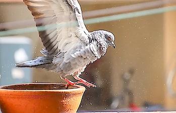 #captured #birdphotography #birdsworld #pigeonlover #pigeon  #birdlovers #photographylovers #photography  credit @rushikeshshewale07 and  @yap86