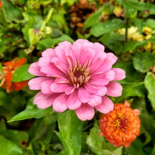 #mobileclicks #motog5plus  #flowers #nature #colourful #pictureoftheday  #travel
