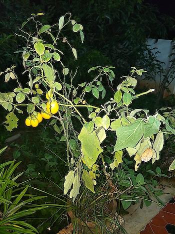 rose plant I'll katharikai