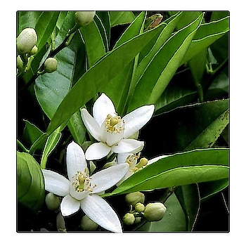 Do you know this flower? It's an orange blossom flower 🍊  The name of the essential oil is « Petit grain » and it's one of raw materials that gives its fresh scent to Selva Do Brazil!  #HGSAYS try out these unique blends composed from natural raw materials  #flower #orange #blossom #green #nature #flowers #perfume #fragrance #naturelovers #naturelover #nature_brilliance #white #raw #instagram #havishaaglobal #instagood #fresh