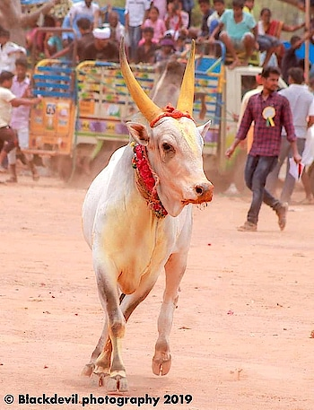 #we-support-jallikattu #jallikattu2019 #vedha
