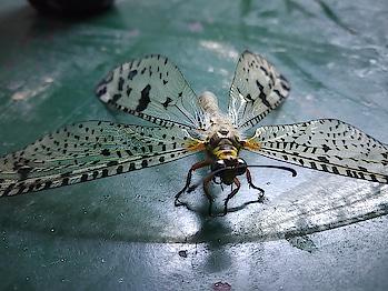 #hostfly #insects